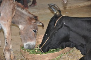 Donkey and cow in recovery sharing the fresh fodder