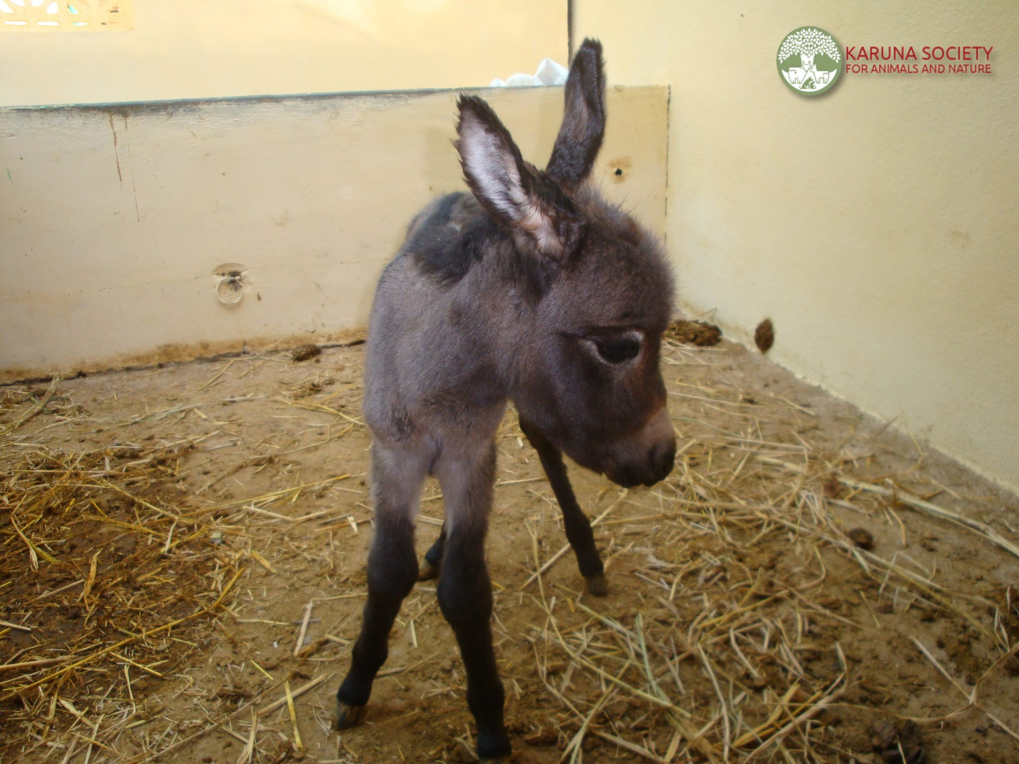 Disabled Donkey With Baby Karuna Society For Animals And Nature