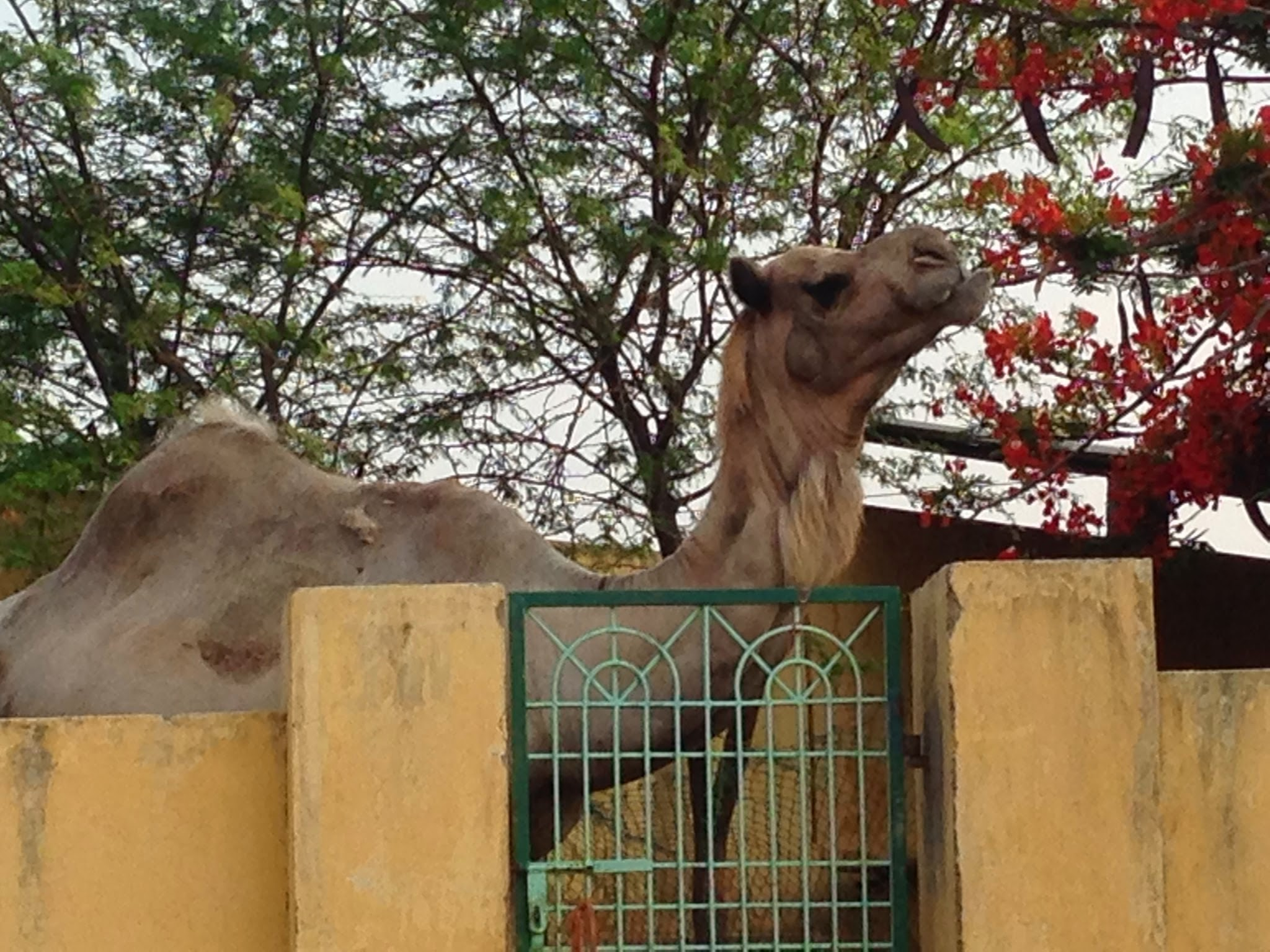 our camel smells the flowers  u2013 karuna society for animals