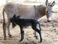 karuna-donkey-with-baby-small-png