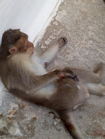 monkey-injured-hand-2-small-png