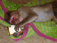 monkeys-injured-1-small-png