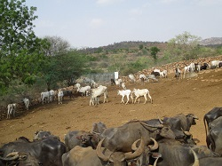 Karuna Cattle During Drought 2017 small